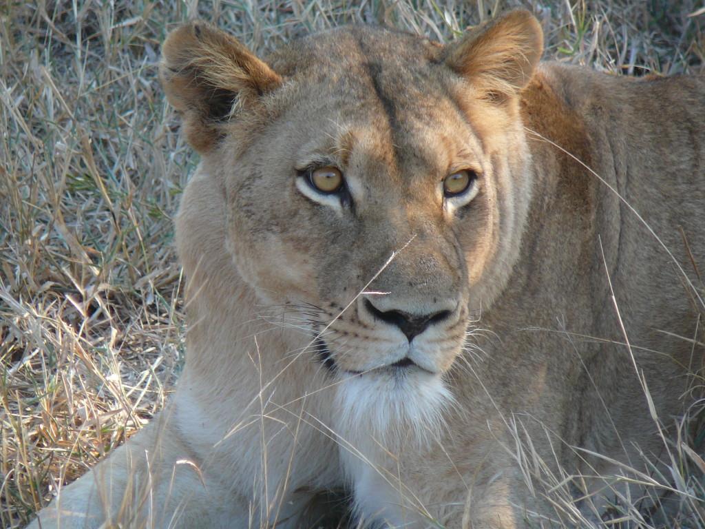 Lion-Kapama-River- Lodge-South-Africa
