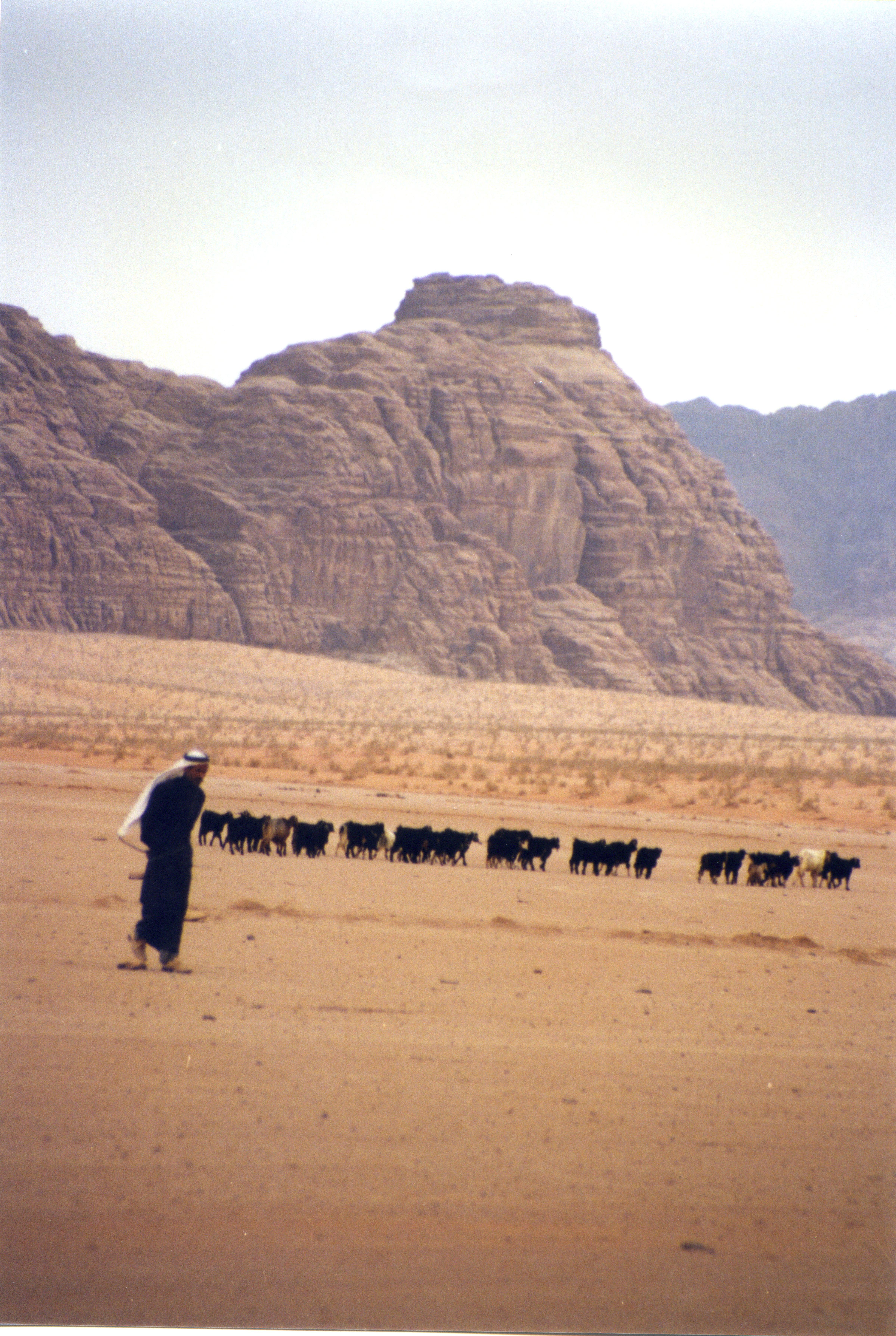 bedouin-with-livestock-Jordan