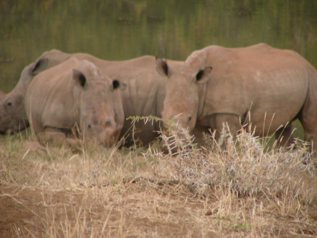 Rhinos-Madikwe-Safari-Lodge-Madikwe-South-Africa