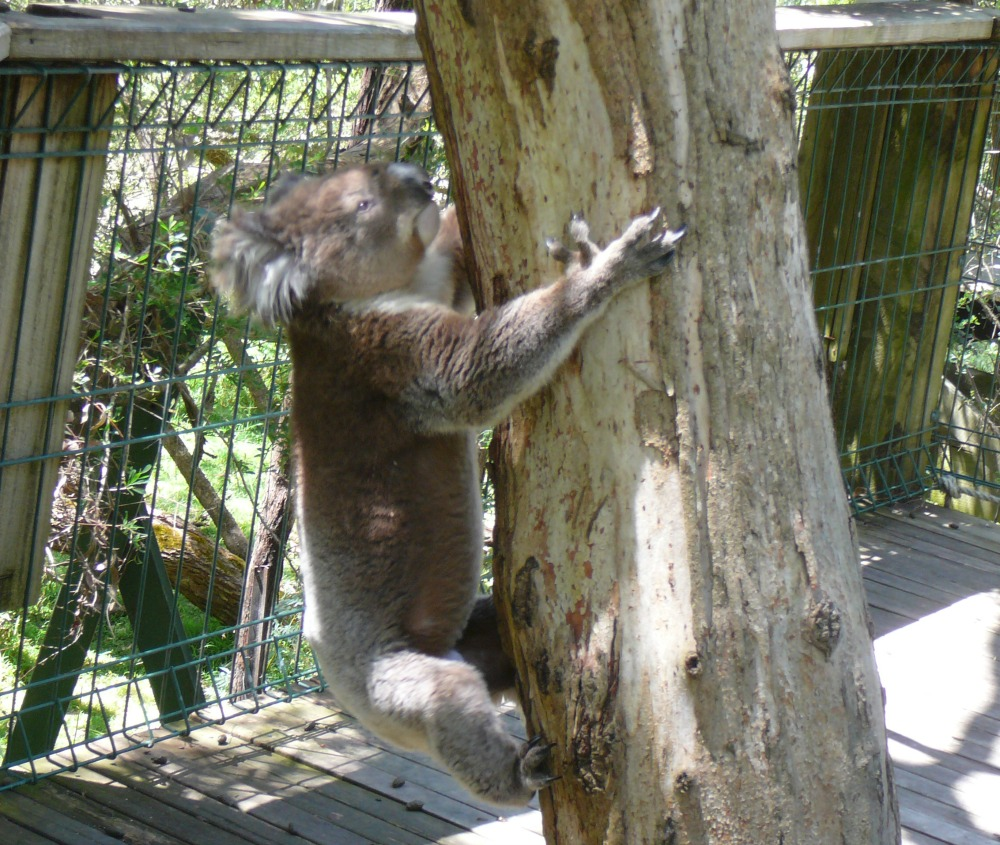 0314-an-active-koala-at-Koala-Conservation-Centre-Phillip-Island