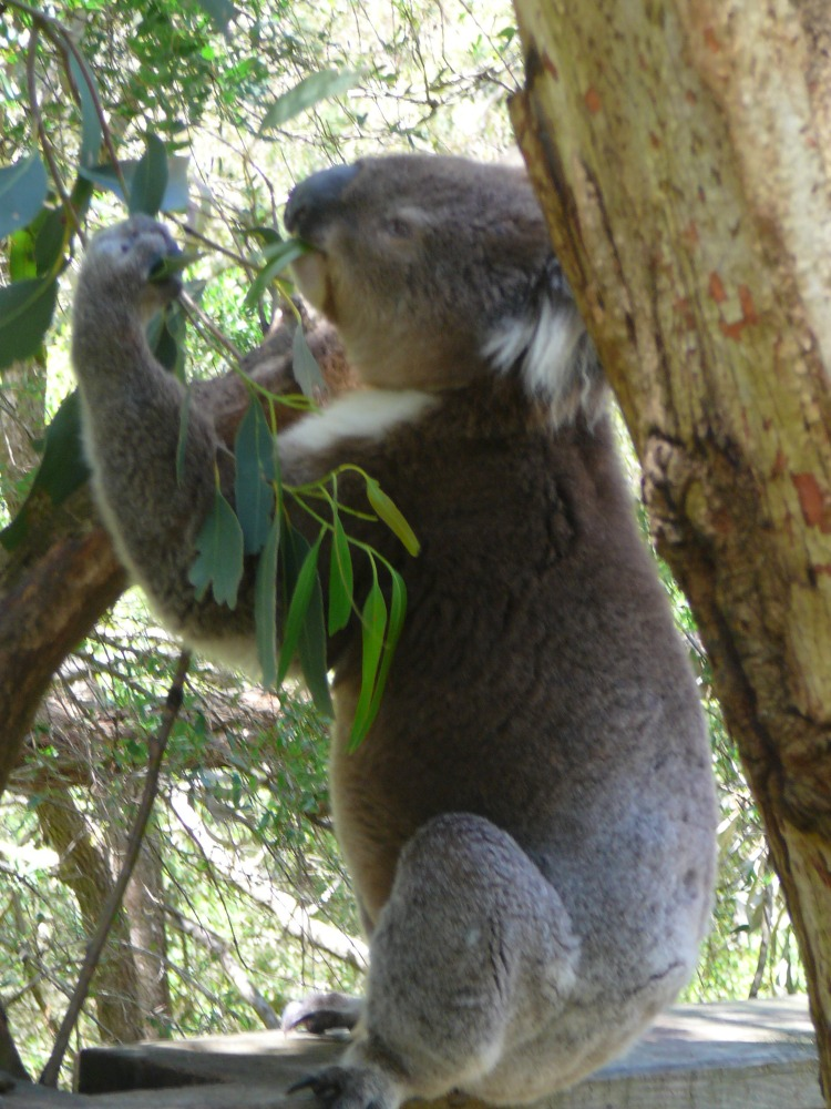 0315-a-hungry-koala-Koala-Conservation-Centre-Phillip-Island