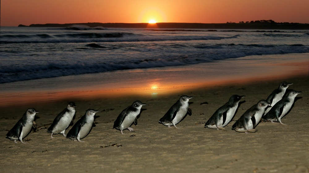 0315-penguins-at-sunset