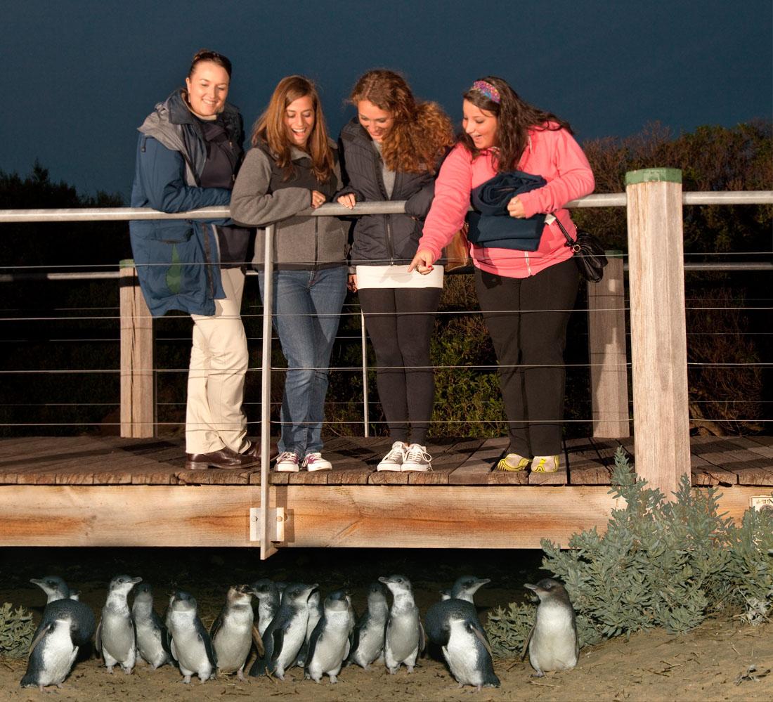 Phillip Island Penguin Parade Season