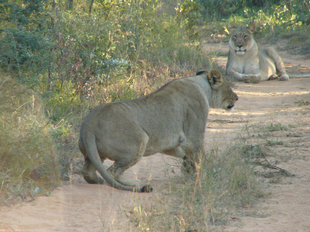 Lions-Marataba-Safari-Lodge-Marakele-National-Park-Limpopo-South Africa
