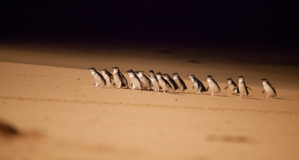 Penguins at Phillip Island Penguin Parade. Image courtesy of Phillip Island Nature Parks.