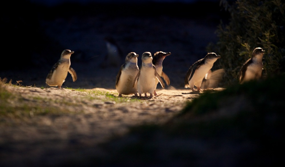 penguins-Phillip-Island-Nature-Parks