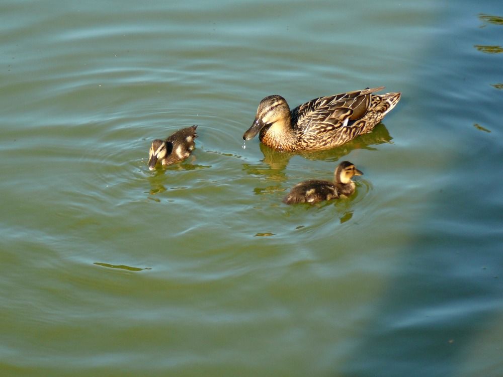 Wisley is home to plenty of ducks and other bird species.