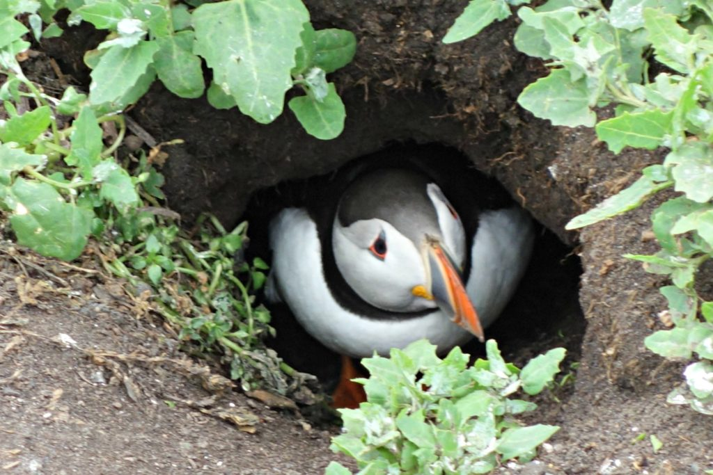 a puffin chick on Inner Farne