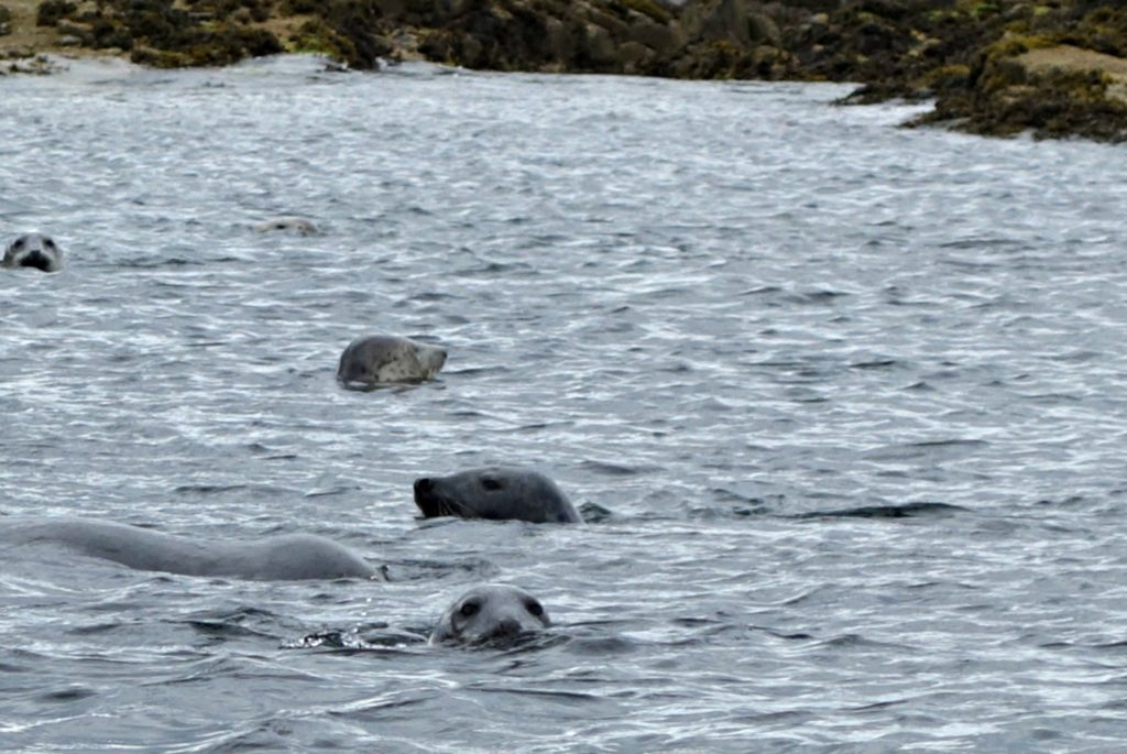 the seals of the Farne Island
