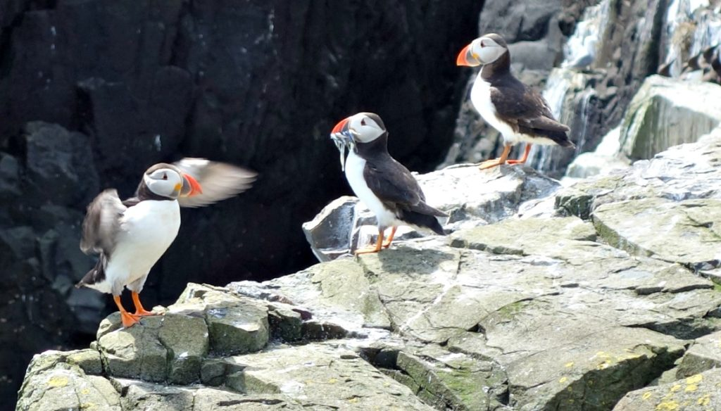 three puffins on Staple Island
