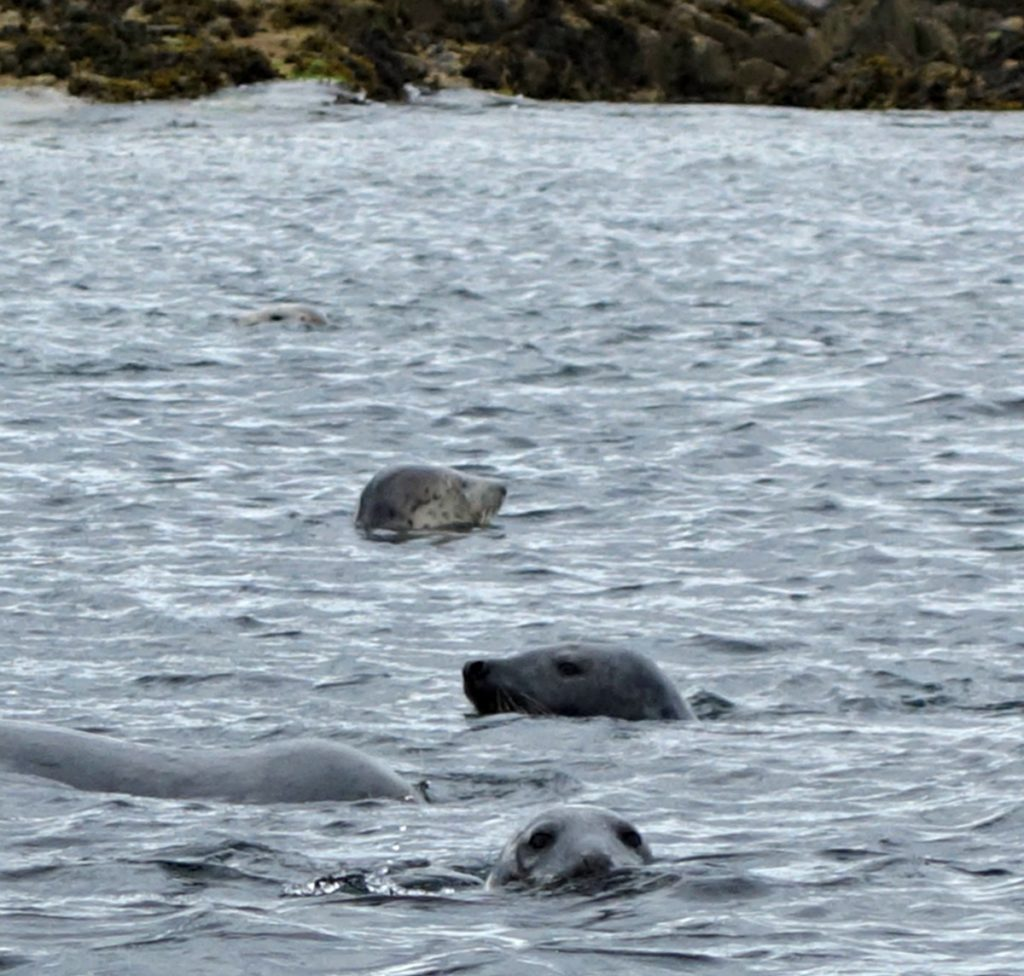 Seals around the Farne Islands