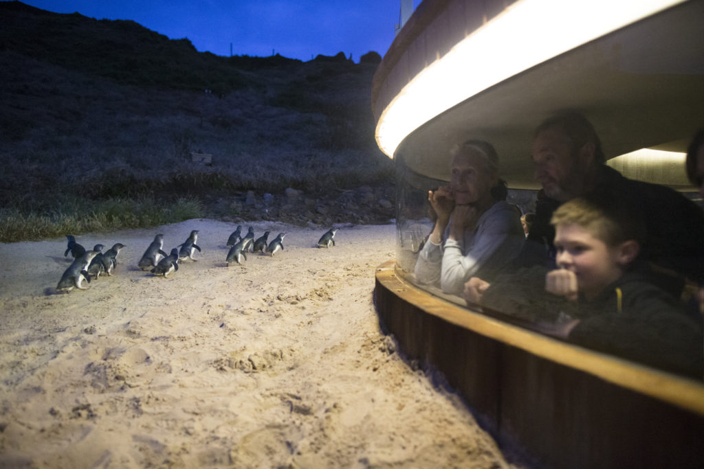 Attraction: Viewing Penguins Underground at Phillip Island